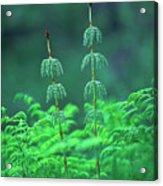 Horsetails Acrylic Print