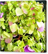 Hortensia With Touch Of Pink Acrylic Print