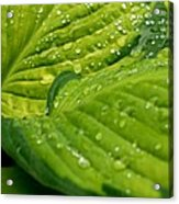 Hosta Droplets II Acrylic Print