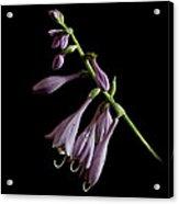 Hosta Flower After The Rain Acrylic Print