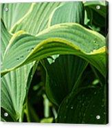 Hosta Leaves After The Rain Acrylic Print
