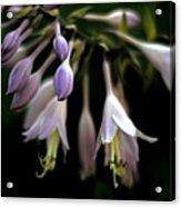 Hosta Petals Acrylic Print