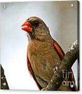 Hot Cardinal Acrylic Print