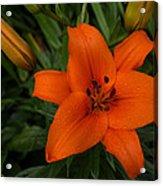 Hot Orange Lily  Acrylic Print