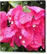 Hot Pink Bougainvillea Acrylic Print