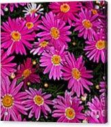 Hot Pink Daisies Acrylic Print
