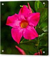 Hot Pink Dipladenia Acrylic Print