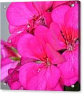 Hot Pink In February Acrylic Print