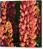Hot Pink Lupines From My Mother's Garden Acrylic Print