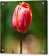 Hot Pink Tulip Acrylic Print