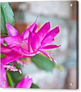 Hot Pink Christmas Cactus Flower Art Prints Acrylic Print