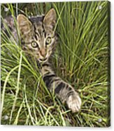House Cat Hunting In Grass Germany Acrylic Print