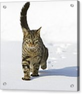 House Cat Male Walking In Snow Germany Acrylic Print