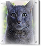 House Cat Stare Acrylic Print