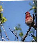 House Finch Acrylic Print