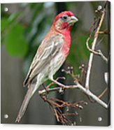 House Finch At Rest Acrylic Print