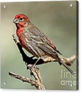 House Finch Carpodacus Mexicanus Acrylic Print