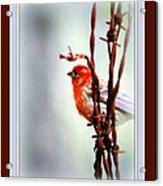 House Finch - Finch 2241-004 Acrylic Print