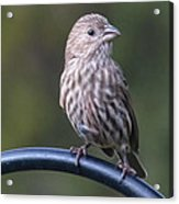 House Finch Acrylic Print by John Kunze