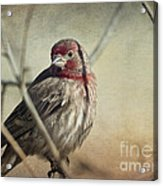 House Finch Two Acrylic Print