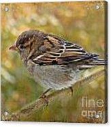 House Sparrow II Acrylic Print