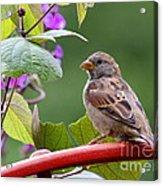 House Sparrow On A Wheel Acrylic Print