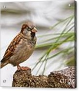 House Sparrow Passer Domesticus On The Perch Acrylic Print