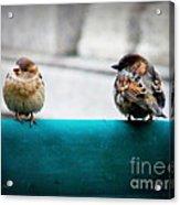 House Sparrows Acrylic Print