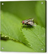 Housefly Acrylic Print