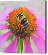 Hover Fly On Purple Coneflower Acrylic Print