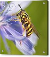 Hover Fly Acrylic Print by Todd Bielby