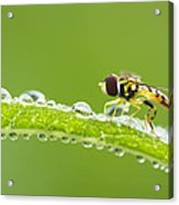Hoverfly In Dew Acrylic Print