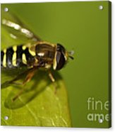 Hoverfly On A Leaf Acrylic Print