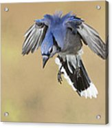 Hovering Billy Acrylic Print