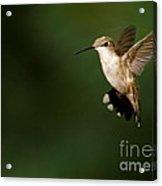 Hovering Hummingbird  Acrylic Print
