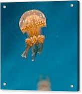 Hovering Spotted Jelly 1 Acrylic Print
