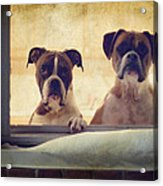 How Much Is That Doggie In The Window? Acrylic Print by Stephanie McDowell