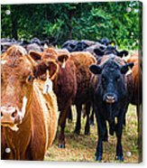 How Now Brown Cow Acrylic Print