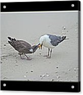 How To Eat A Blue Crab - Great Black Backed Gull In Training Acrylic Print
