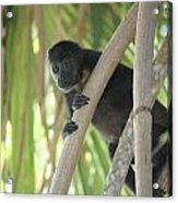 Howler Monkey Looking Down Acrylic Print