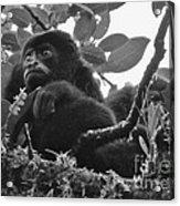 Howler Monkey's Acrylic Print