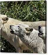 Howlin Artic Wolves Acrylic Print