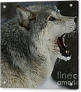 Howling Gray Wolf  Acrylic Print