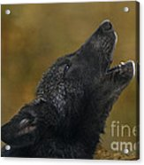 Howling Gray Wolf Pup Endangered Species Wildlife Rescue Acrylic Print