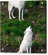 Howling Wolves Acrylic Print