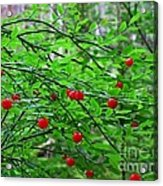 Huckleberry Bush Acrylic Print