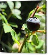 Huckleberry Acrylic Print