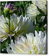 Hues Of Softness Dahlia Acrylic Print