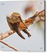 Huimmingbird 5 Acrylic Print