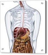 Human Digestive Anatomy Acrylic Print